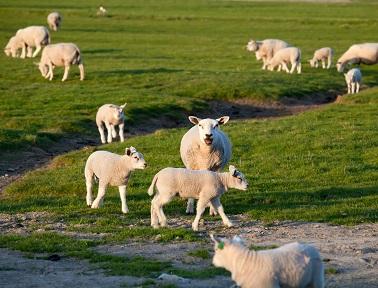 tilbehør til får